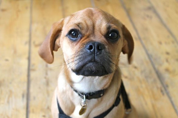 puggle puppy, puggle dog, cute dogs, peanutbuttered, peanutbuttered blog